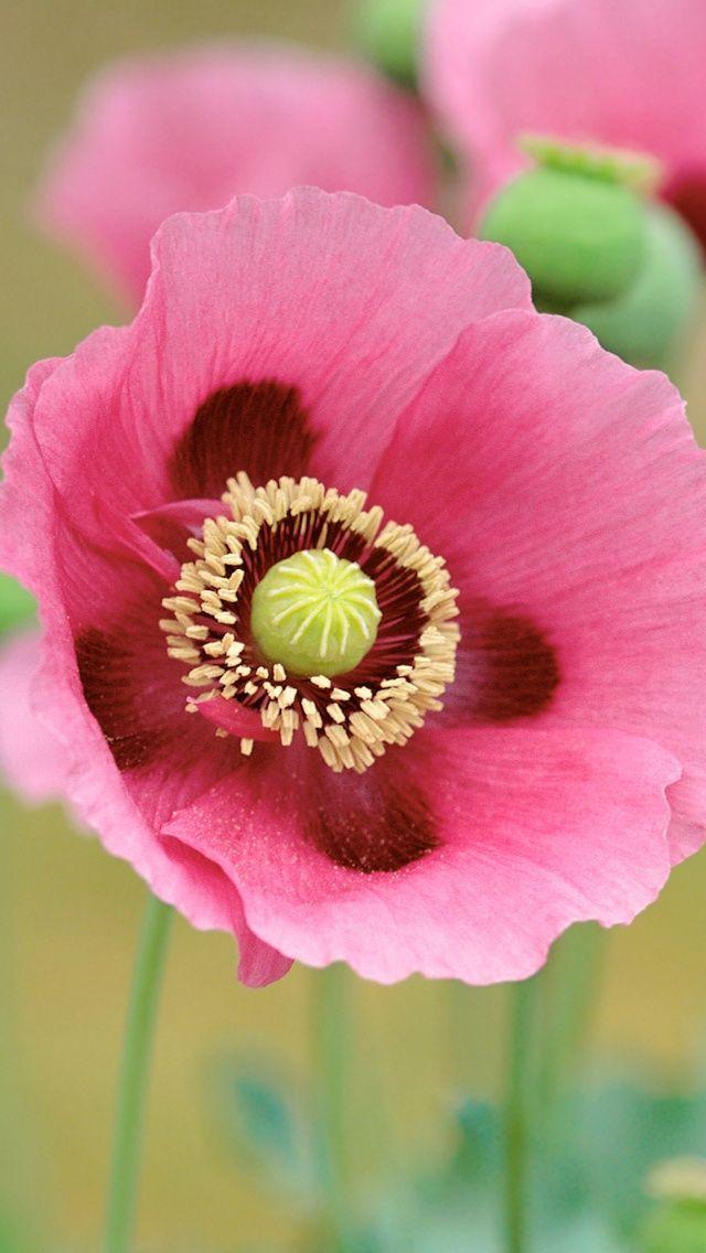 Poppy Flower- flower of August