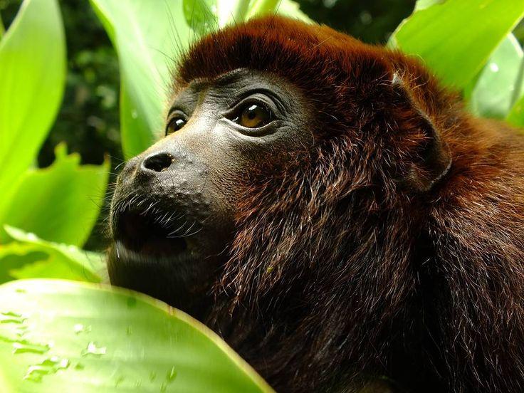 """Conoces al araguato? Una de las especies más afectadas por el tráfico de fauna.  En Latinoamérica se le conoce como """"mono aullador pero en nuestro país se le llama """"araguato. Emite un sonido ronco bastante grave que puede escucharse a grandes distancias. Generalmente se les ve ramoneando entre los árboles en grupos pequeños llamados tropas.  Ahora que vienen los carnavales aumenta la cantidad de vendedores de fauna silvestre en las carreteras de nuestro país solo porque a  algunas personas…"""