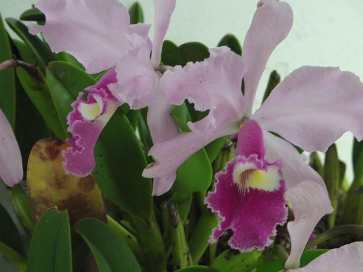 Orquidea, Flor emblemática.