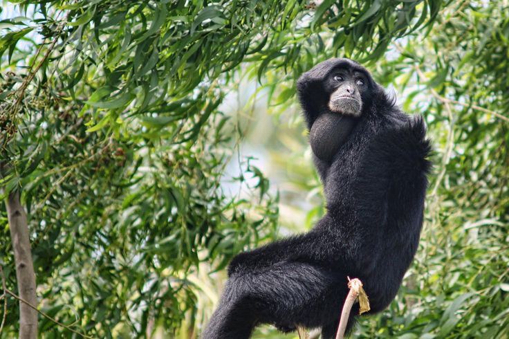 siamang gibbon monkeys weight loss
