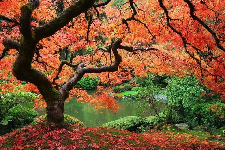 Tree: Natural Photography, Trees Photography, Colors, Amazing Trees, Beautiful, Fall Trees, Leaves, Japan Gardens, Portland Oregon