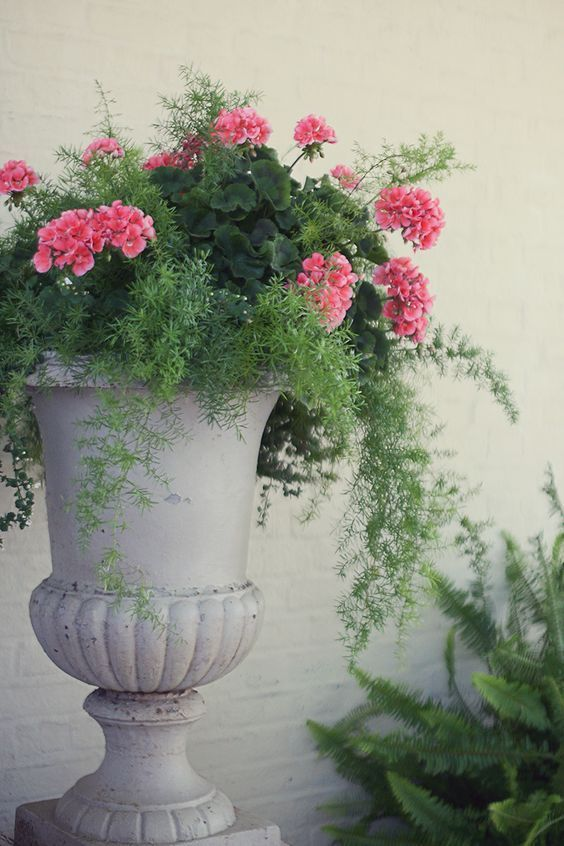 Geranium and Asparagus Fern in a beautiful Urn | Garden decor for spring