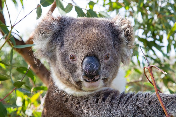 Koala.  Mikkira Koala Sanctuary.  Eyre Peninsula South Australia by John White