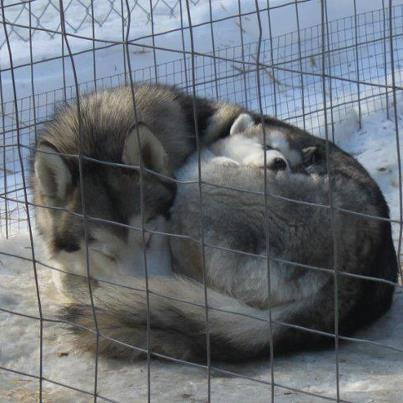 Husky with puppy