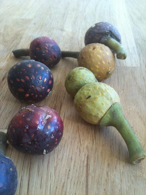 Moreton Bay Fig Fruit
