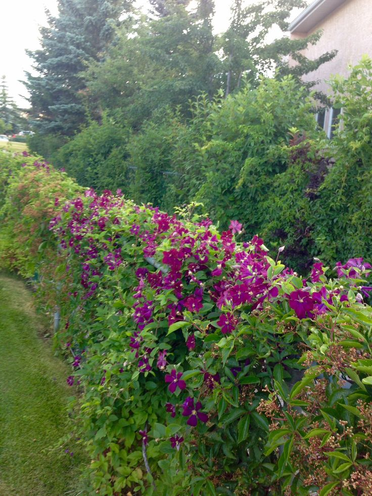 11 best images about chain link fence on pinterest for Fast growing fence covering plants