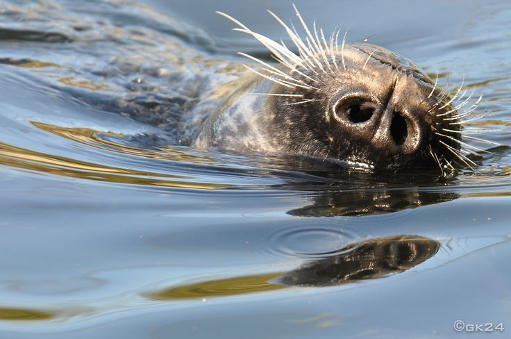 Zeehond - Seal ©gk24