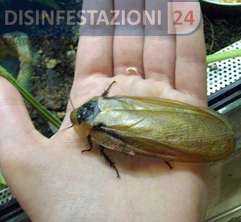 #disinfestazione #scarafaggi #blatte #blatta #blatella #scarafaggio #teschio #blaberus #craniifer