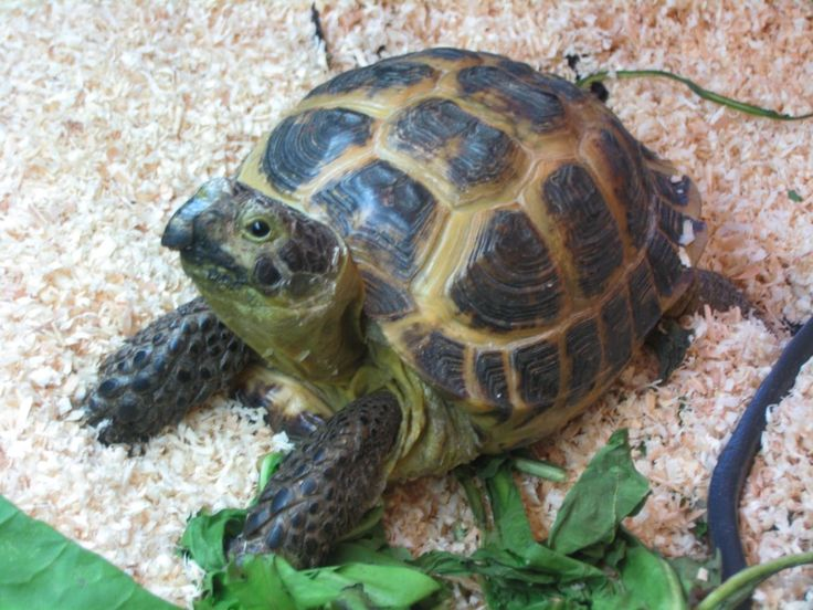 Russian Tortoise.  Look at that thing!  Cute(: I WANT A PET RUSSIAN TORTOISE!