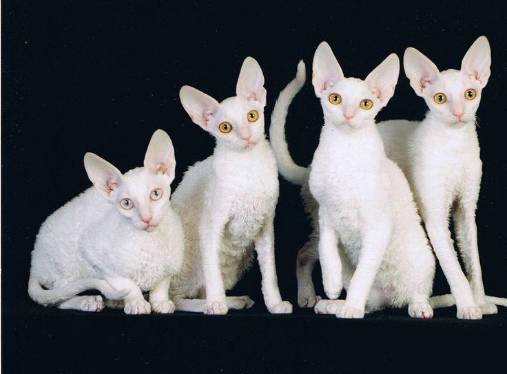 Cornish Rex cats photo