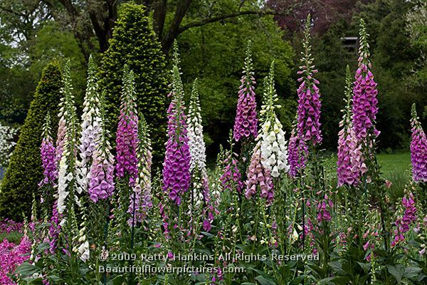 Foxglove (Digitalis purpurea) ~ these are easy to grow and so showy, but are toxic if ingested; this is where the cardiac drug digitalis comes from.