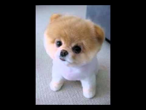 Funny Birthday Song (Pooh the Pomeranian)  I sent this to my sister for her birthday - a great hit!