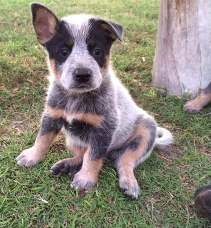 From Australian Working Dogs Rescue on Facebook. I'm in love.