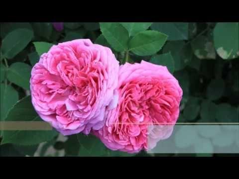 botanical name of roses