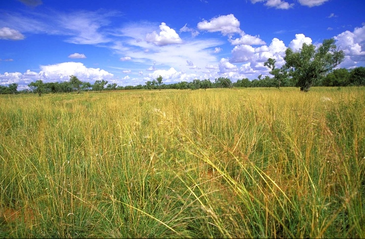 OBE Organic's beautiful pasture in Channel Country