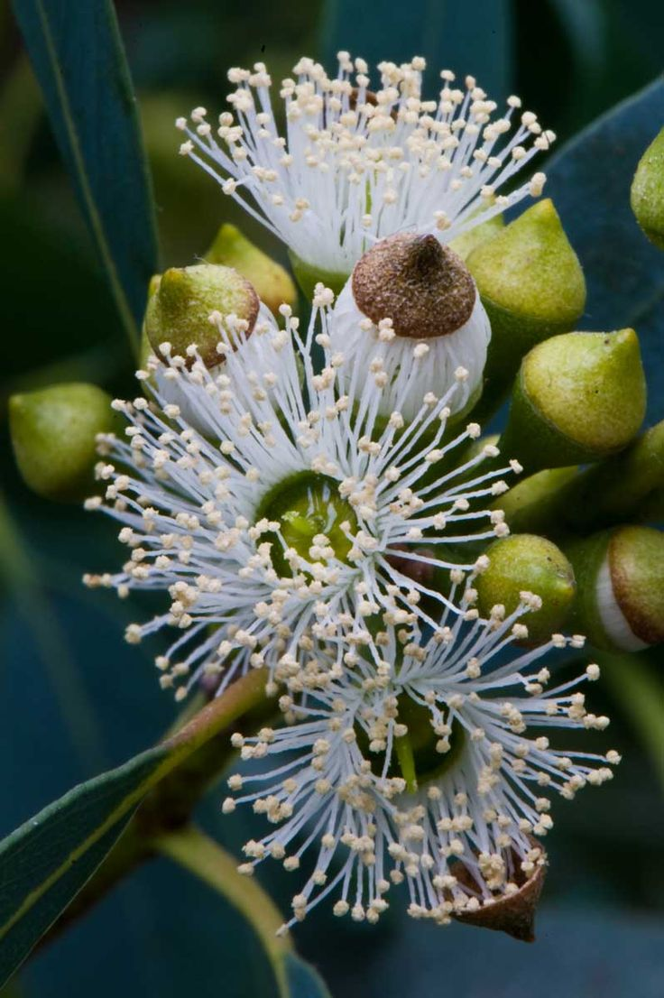Did you know eucalyptus supports healthy lung function?