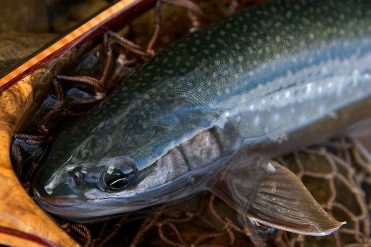 然別湖に生息する固有種ミヤベイワナは生息場所によって個体色が(グリーンバック、ブラウンバック、ブルーバック)に分かれる。