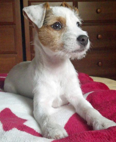 Hana the Parson Russell Terrier - Daily Puppy