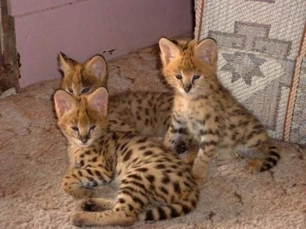 Persian Cat Gallery Savannah Kitten Pets Bengal Kitten