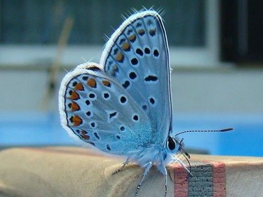 Butterfly Identification -- The Blues - Family Lycaenidae