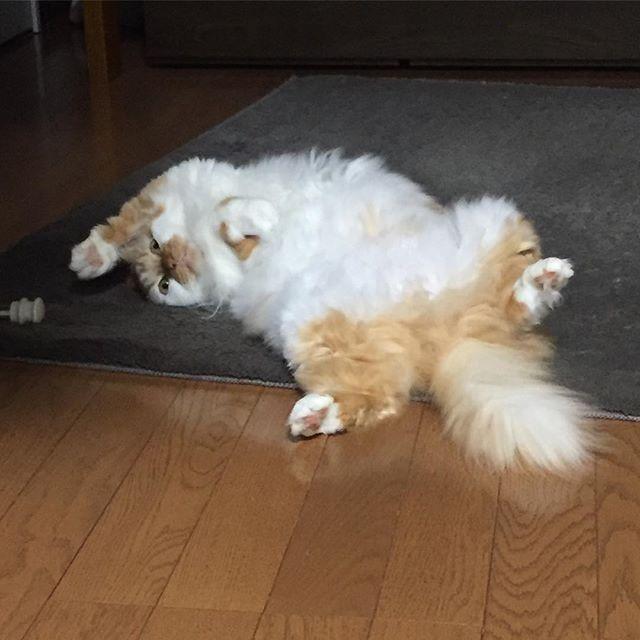 おはようございます . 暖かくなってきてゆきちゃんフローリングにいたりひっくり返ってる事がふえてきました . 暑いから熱を出してるんだにゃ〜 . #cat #catstagram #catoftheday #catsofinstagram #instagramcats #catoftheday #lovekittens #catlover  #ilovecat  #ilovemycat#catstagram #instacat #instacats #kawaii_cat#nyaspaper#猫好きさんと繋がりたい#愛猫 #保護猫#もふもふ#ふわもこ部#ねこ部#にゃんすたぐらむ#にゃんこ#ねこ#ねこまみれ#みんねこ#猫エイズキャリア