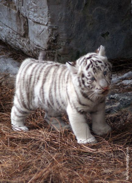 Baby white tiger courtesy of FU Penguin | Beautiful life ...