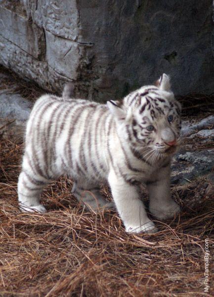 Baby white tiger courtesy of FU Penguin