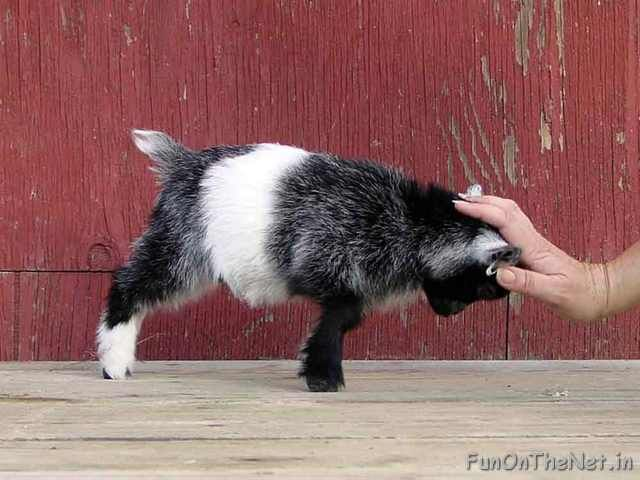 Pygmy Goat. Goats have long been kept as pets; even