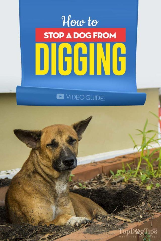 How To Stop A Dog From Digging Digging Dogs Dogs Puppy Training