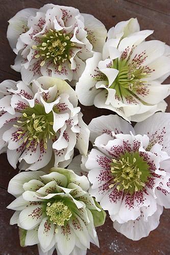 1000  images about helleborus on pinterest