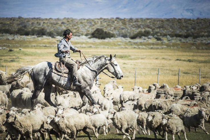 Gauchos riding horses to round up sheep, El Chalten, Patagonia, Argentina, South America