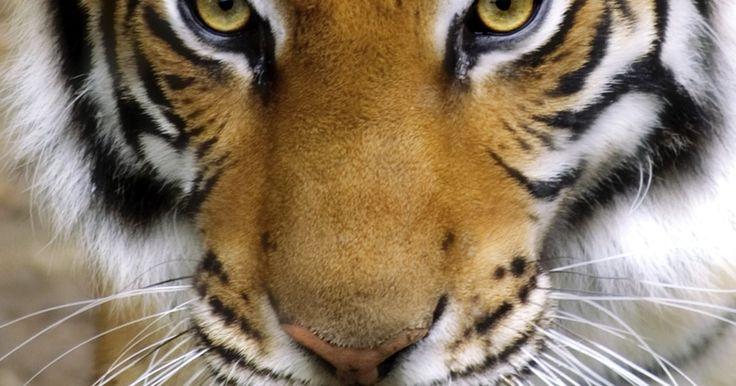 Cómo hacer un disfraz de tigre. Para una fiesta de disfraces salvaje, considera hacer tu propio traje de tigre. Fácil de coser con los materiales apropiados, este disfraz desatará tu lado salvaje. Es perfecto para Halloween, fiestas de disfraces y producciones teatrales y puedes hacer tu traje de tigre para cualquier tipo de cuerpo.