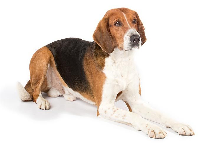 American Foxhound Dog Breed Information American Foxhound Hound