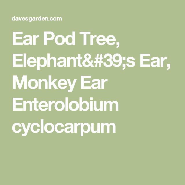 Ear Pod Tree, Elephant's Ear, Monkey Ear  Enterolobium cyclocarpum