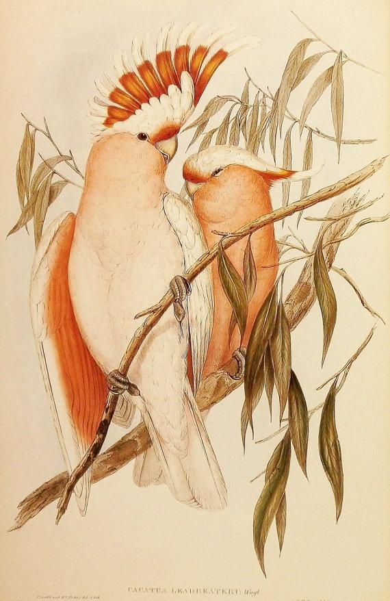 Vintage Coral Cockatoo Parrot John Gould Bird by earlybirdsale, $5.00