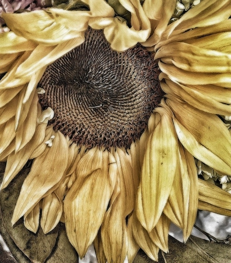 """© Geri Centonze """"Faded Sunflower""""   Camera Awesome, Snapseed, ShockMyPic, Photo Wizard"""