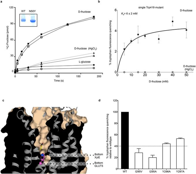 Single point mutation is sufficient to switch preference of GLUT5 from fructose to glucose