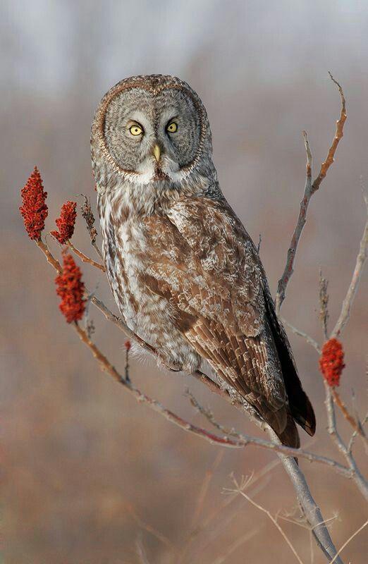 Owl in a Sumac bush...