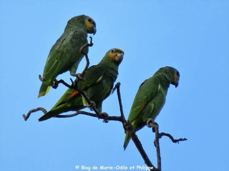 Quatre perroquets Amazone aourou (Amazona amazonica) photographiés depuis notre jardin de Montjoly (Guyane)