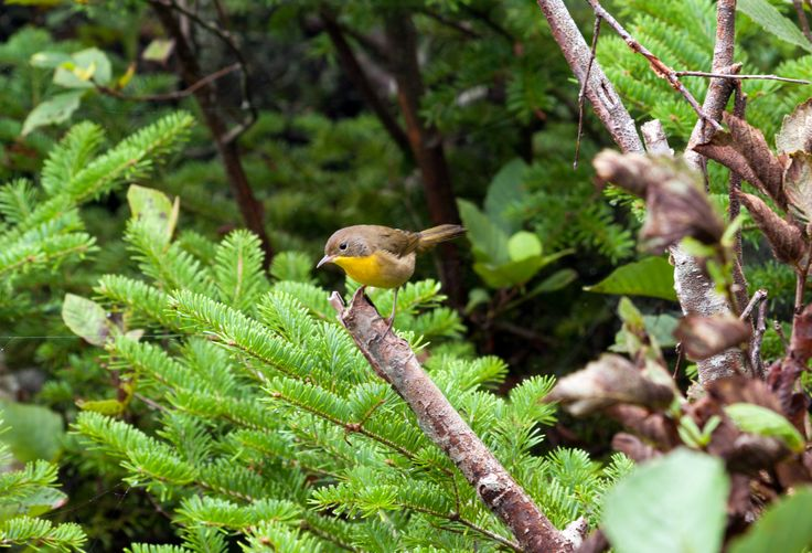 Yellow Breasted Chat  Left