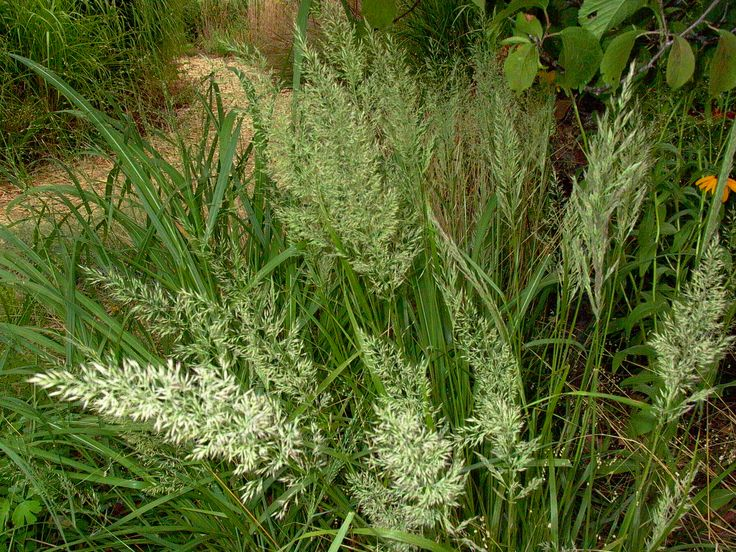 27 best images about ornamental grasses on pinterest for Brown ornamental grass plants