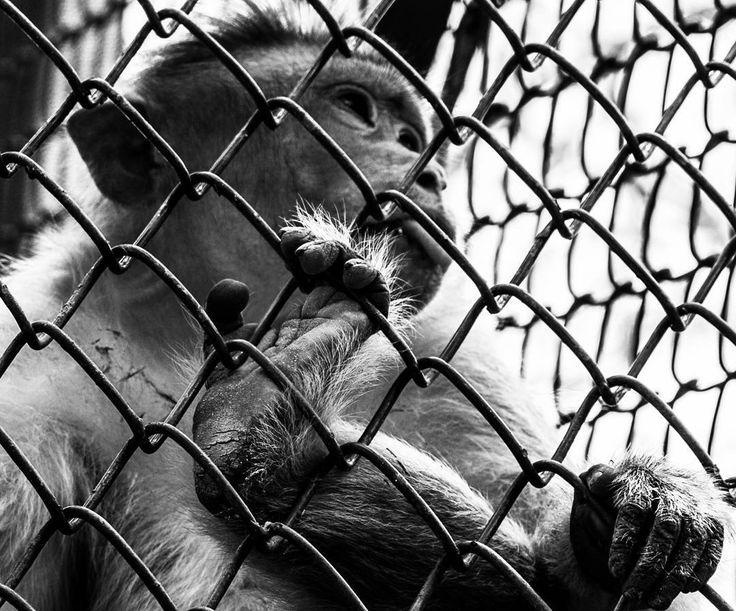 #india #monkey #animal #model #asian #blackandwhite #captivity #zoo #hope #hungry #thirsty #canon #animalkingdom #banana #love #instalike #instacool #photooftheday #summer #evening #cute #travel #happy #instagramhub #instagram #lucknow #uttarpradesh #photography #photo #photographer http://tipsrazzi.com/ipost/1508869331491067525/?code=BTwlKmkAZaF