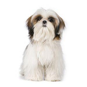 Le Shih Tzu: Chien de petite taille, joyeux et affectueux envers ceux qui le lui rendent bien. Convient parfaitement à la vie en appartement. | Plus d'info: http://www.eleveurs-online.com/standard,race,chiens,shih-tzu.html
