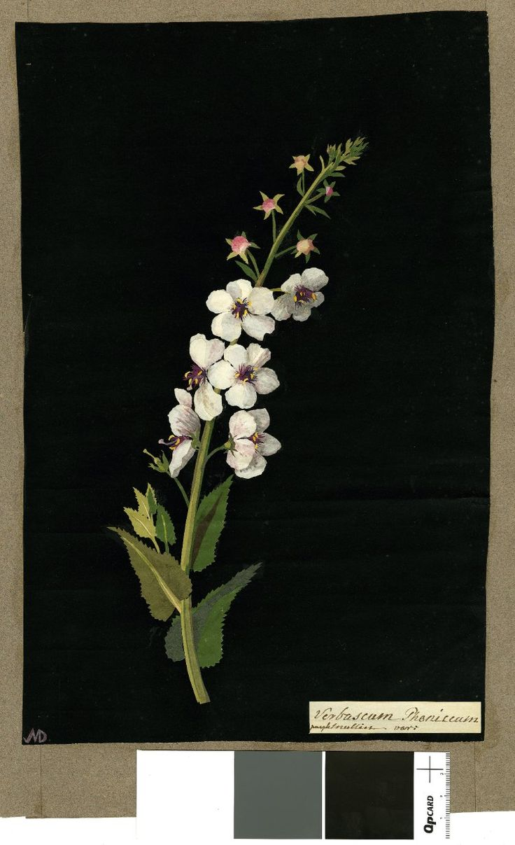 Mary Delany botanical collage: Verbascum Phoeniceum, 1778