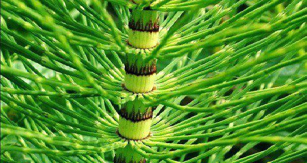 L'equiseto (Equisetum arvense) è una pianta appartenente alla famiglia delle Equisetaceae ed è l'unico superstite di una linea di piante che risale a trece