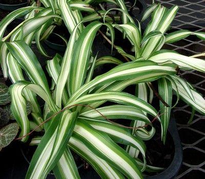 Le #chlorophytum ou plante araignée : jolie #plante d'intérieur #dépolluante