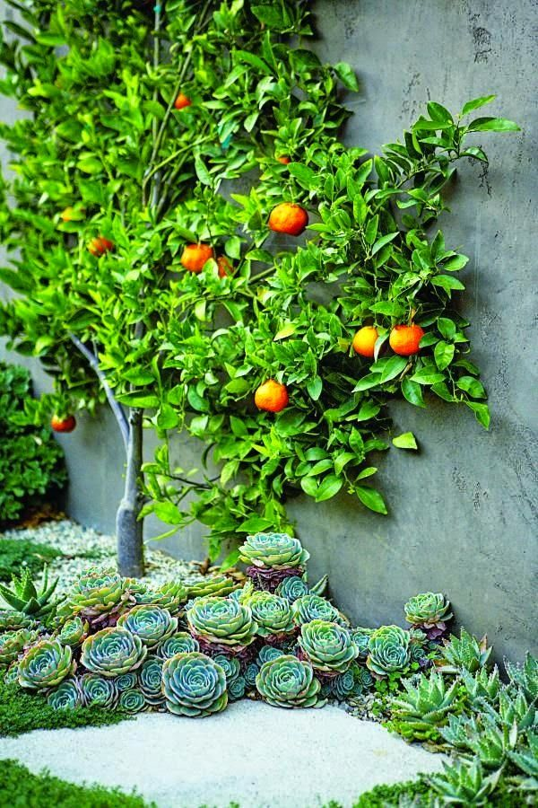 Wonderful  Best Images About Espalier On Pinterest  Trees A Fruit And Pears With Exciting Citrus Tree Tangerines Succulents Espalier At Home With Scott Shrader  Photo Gallery Scott Shrader West Hollywood Ca With Beauteous Scenic Garden Hong Kong Also Hanging Gardens Bali In Addition Theatres Covent Garden And Lee Garden Hemsworth As Well As Hibiscus Gardens Additionally Garden Pond Images From Pinterestcom With   Exciting  Best Images About Espalier On Pinterest  Trees A Fruit And Pears With Beauteous Citrus Tree Tangerines Succulents Espalier At Home With Scott Shrader  Photo Gallery Scott Shrader West Hollywood Ca And Wonderful Scenic Garden Hong Kong Also Hanging Gardens Bali In Addition Theatres Covent Garden From Pinterestcom