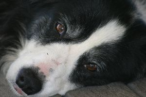 A Dog's Life: Molly's Mange, Eczema and Lack of Confidence.  Psorinum: What a Difference