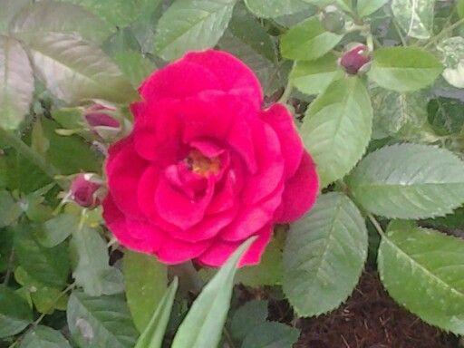 Flammentanz rose