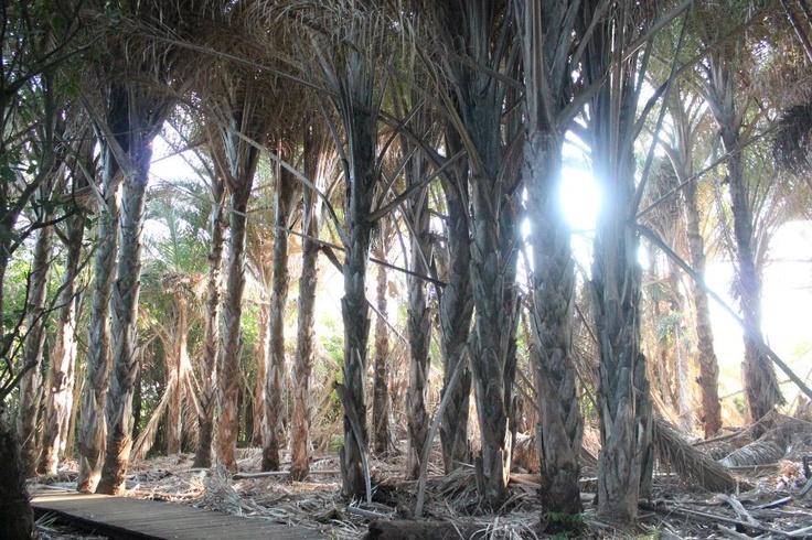 Rafia Palms Forest, Mtunzini